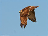 Red-tailed Hawk 78