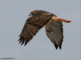 Red-tailed Hawk 79