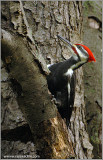 Pileated Woodpecker 8