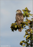 Red-tailed Hawk 80