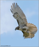 Red-tailed Hawk 81