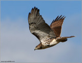 Red-tailed Hawk 83