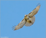 Red-tailed Hawk 84