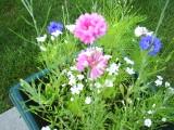Minnesota wild flowers