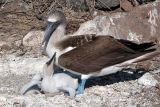 Blue Footed Booby and chick