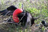 Magnificent Frigate Bird attracting females