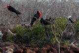 Magnificent Frigate Birds looking for mates