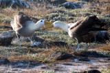 Mating ritual of the Waved Albatross
