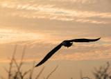 Waved Albatross at sunset