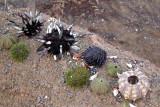 Urchin species