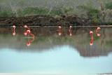 Greater Flamingo feeding at sunrise