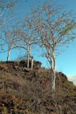 Palo Santo trees