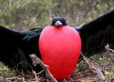 Frigate Bird displaying