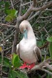 Red Footed Booby preening