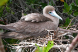 Red Footed Booby at nest