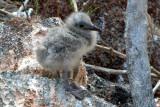 Lava Gull chick