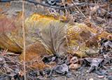 Well-camouflaged Land Iguana