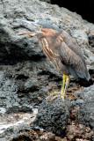 Striated or Lava Heron