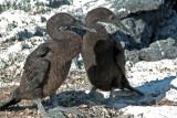 Young Flightless Cormorants