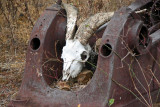 Culled feral goat