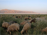 Grazing sheep, Daryacheh-ye Maharlu