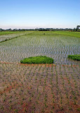 Rice fields near Bandar-e Anzali