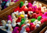 Colourful chicks, Rasht bazaar