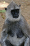 Grey Langer monkey