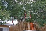 Sri Maha Bodi, world's oldest documented tree