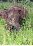 Elephant at Habarana Eco