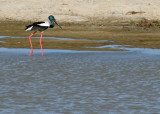 Black-necked Stork -  near threatened species