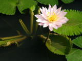 Amanjiwo water lilies