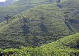 Tea bushes, Gunung Lawu