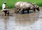 Preparing the paddy