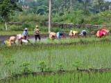 Planting rice, flanks of Mt. Merapi