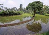 Rice paddy, Merapi flanks