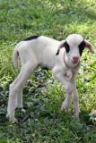 New-born lamb