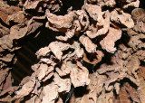Tobacco leaves air-drying