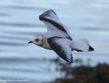 Gulls / Mouettes et Goélands
