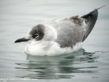 Franklin's Gull / Mouette de Franklin