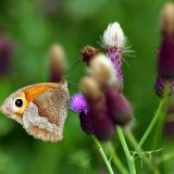 bough beech butterfly.jpg