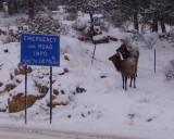 Colorado elk looking for a sign