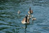 Canada Geese, Boldt Castle, Heart Island, Alexandria Bay, New York