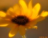 Sunflower 4 08_22_07.jpg