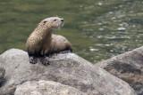 Otter 2 09_19_07.jpg