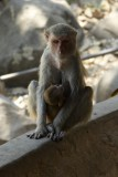 Monkey with baby,Mount Popa