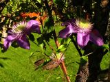 15th October Clematis