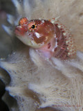 Blackcheek  Blenny