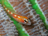 Glass Goby