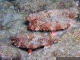 Batfish Pair
